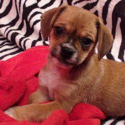 toy-boxer-puppy